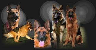 Wüstenberger-Land German Shepherds