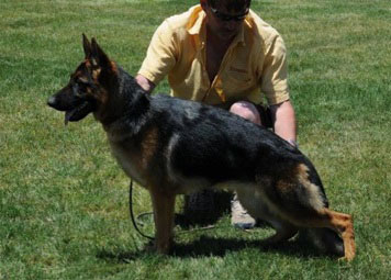 Trained German Shepherds For Sale                  VP1 Catarina vom Wustenberger-Land