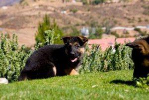 German Shepherd Puppy Pictures