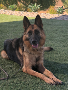 Adult German Shepherds for Sale | High-End Purebred & Imported