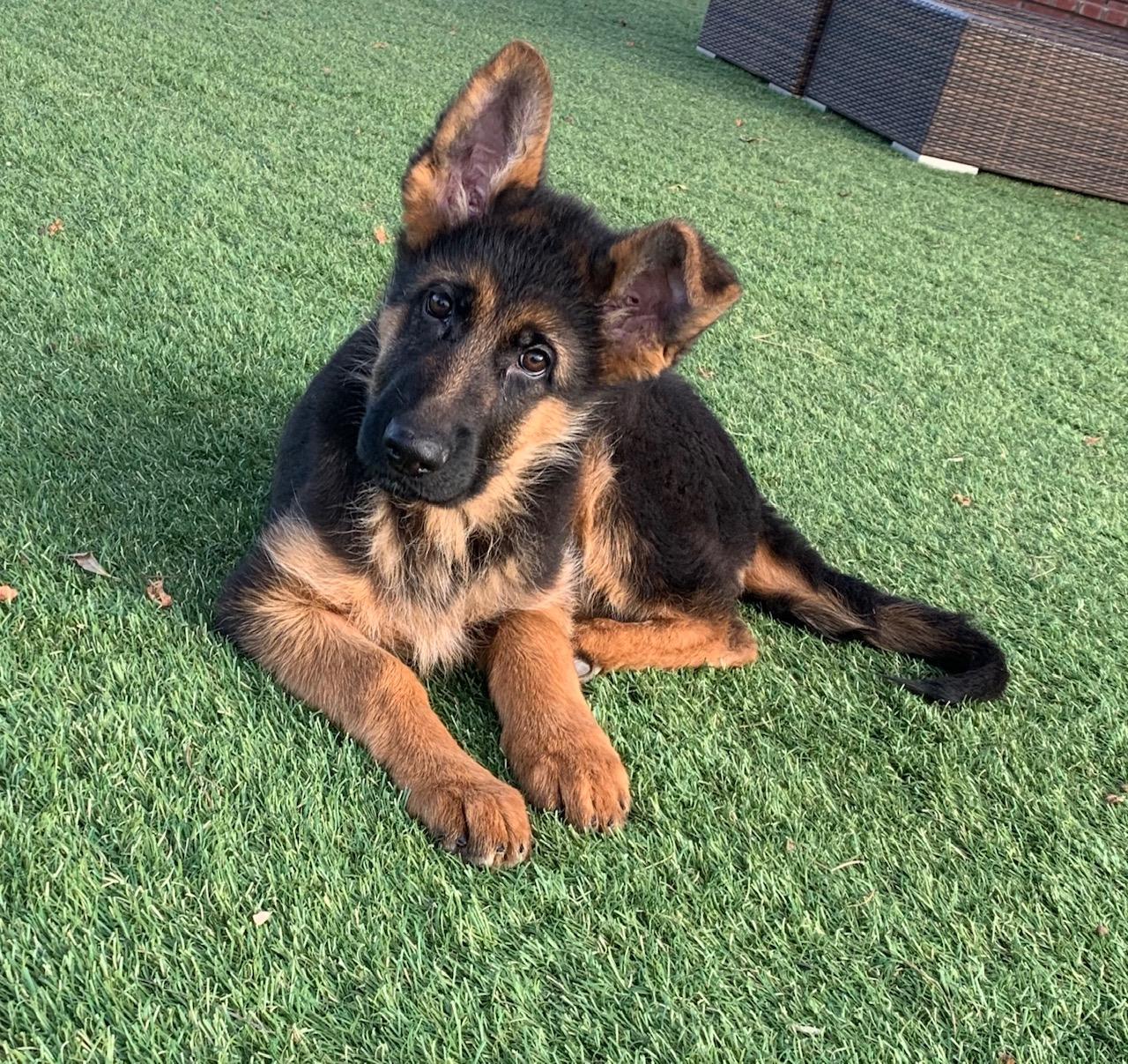 Buy German Shepherd Puppy For Sale Near Me In New South Wales Australia